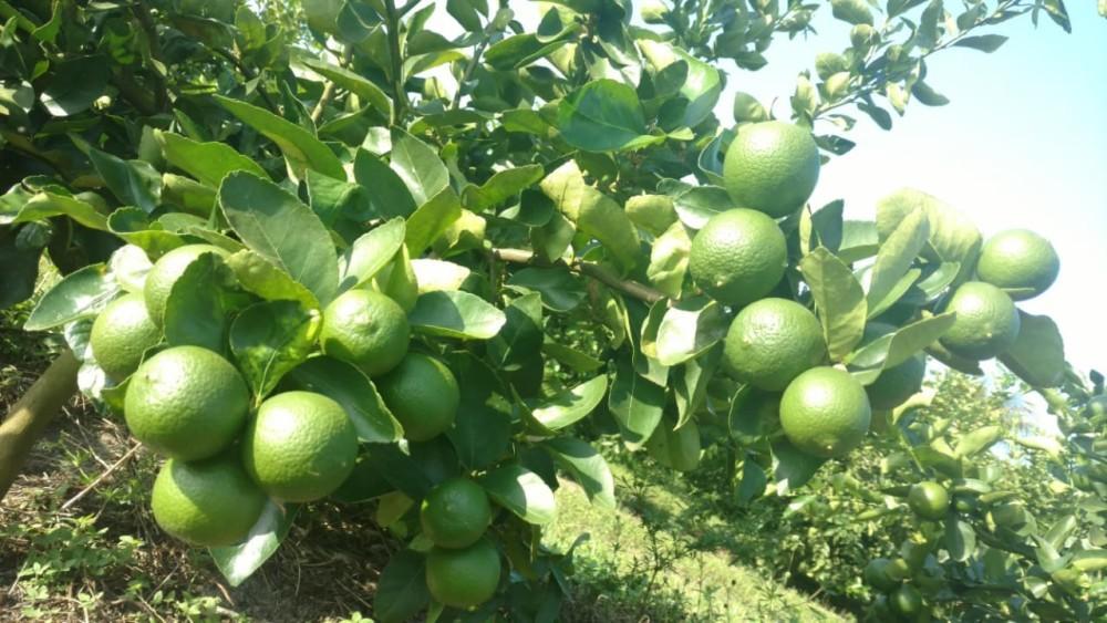 Calendário da feira: limão está no pico da safra em fevereiro; maçã ainda está cara, mas deve baixar